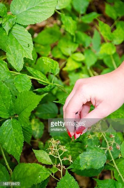 Picking wild blackberry fruits