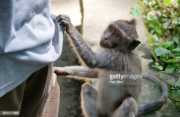 Pickpockets  in Ubud Monkey Forest, Bali, Indonesia