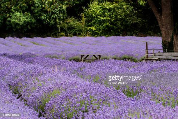 picnic amongst the lavender - purple lilac stock pictures, royalty-free photos & images
