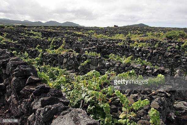 Picture taken 10 September 2004 shows vines at the Ilha do Pico vineyards on the Azores archipelago, located 1500 Km west of the Portuguese mainland....