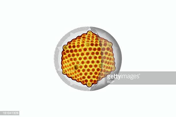 Picornavirus Rna In Yellow