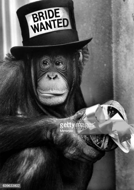 A picture from a series of humurous novelty images taken by Sunday People photographer Dennis Hutchinson An orangutan looking for romance 'Bride...