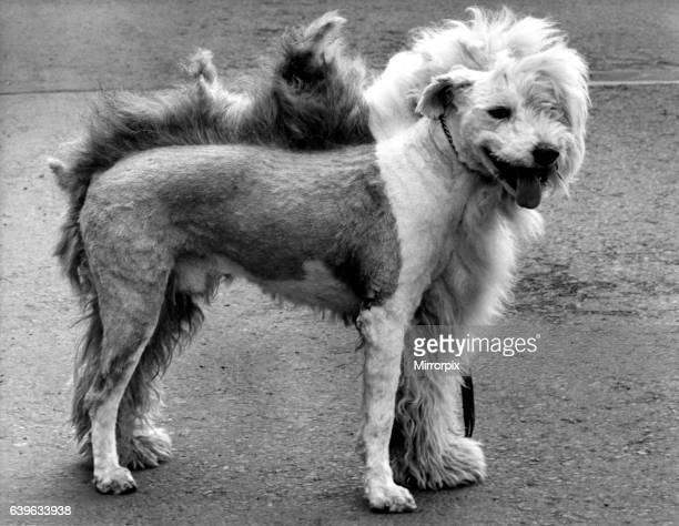 A picture from a series of humurous novelty images taken by Sunday People photographer Dennis Hutchinson Talk about the hair of the dog No he hasn't...