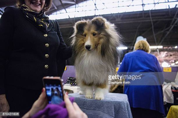 Picture is taken of Shetland Sheepdog Collie for show during the annual Westminster Kennel Club at Madison Square Garden on February 15, 2016 in New...