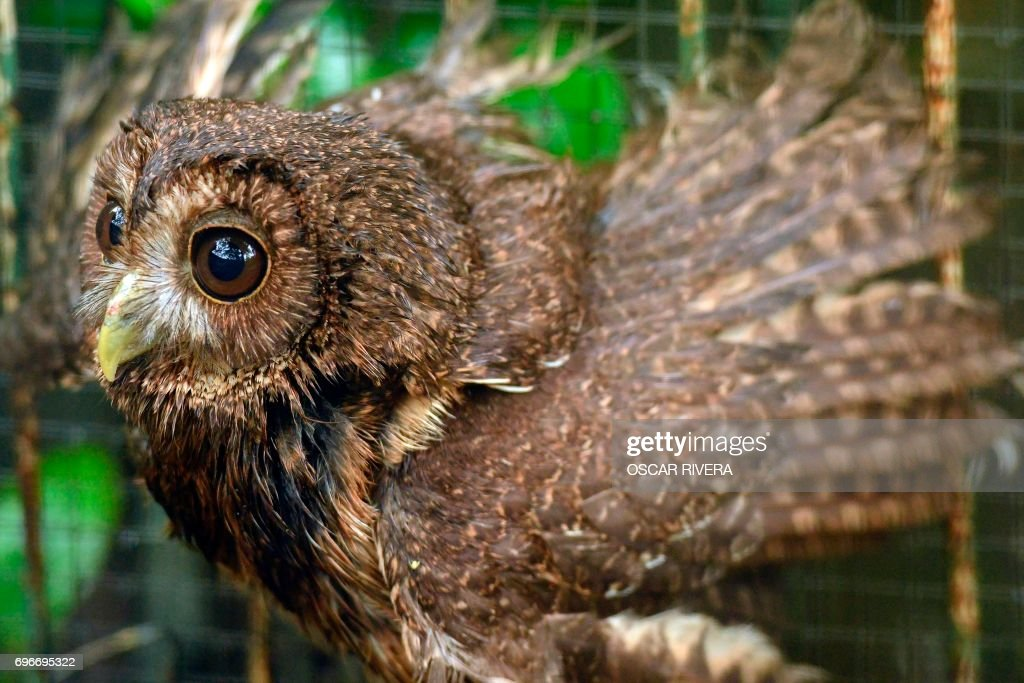 picture of a boreal owl at the el salvador national zoo in san