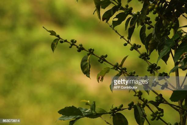 Picture of a coffee plant taken at a plantation in El Boqueron just northwest of San Salvador on October 13 2017 Coffee crops in Latin America one of...