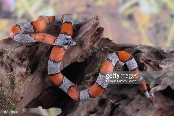 picture of a false coral snake - coral snake stock pictures, royalty-free photos & images