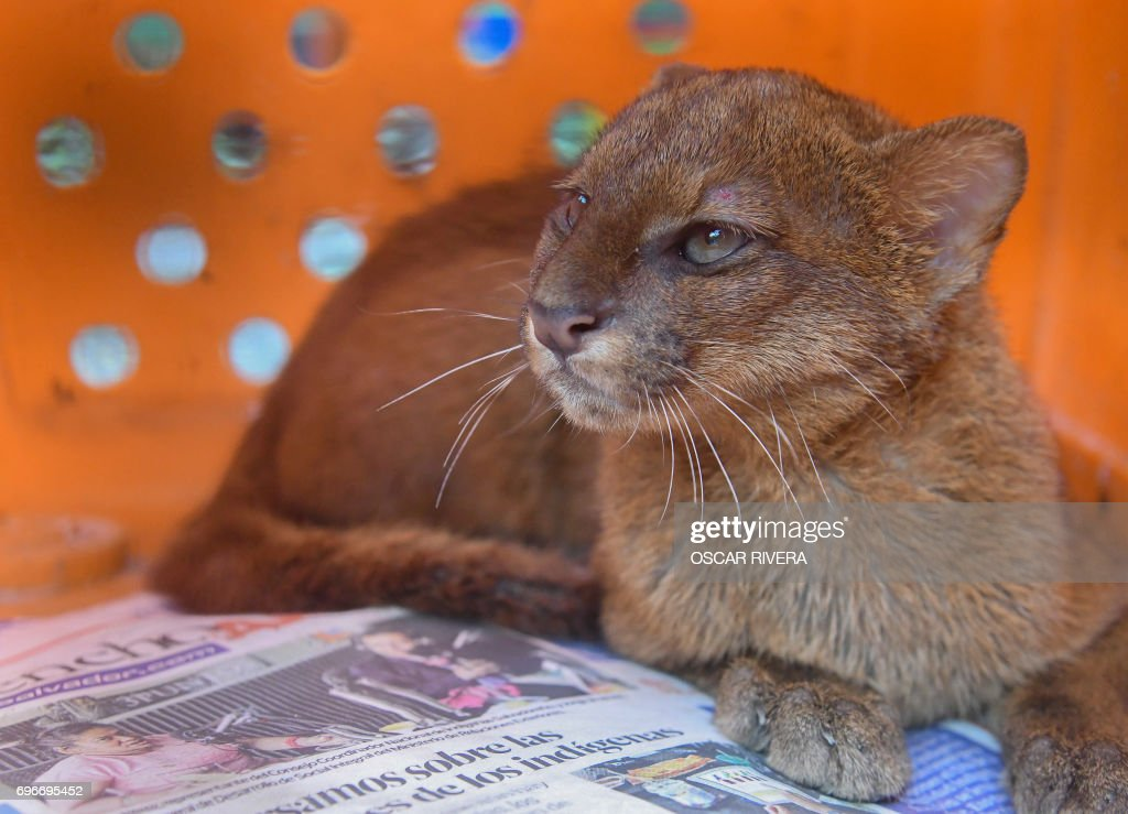 picture of a gato zonto taken at the el salvador national zoo in san