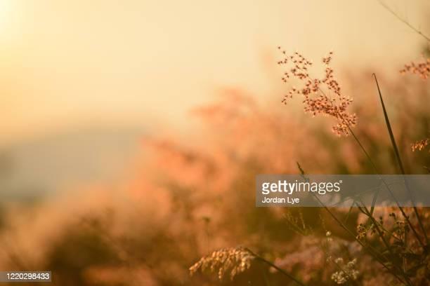 a picture of a golden field filled with sunlight - focagem no primeiro plano imagens e fotografias de stock