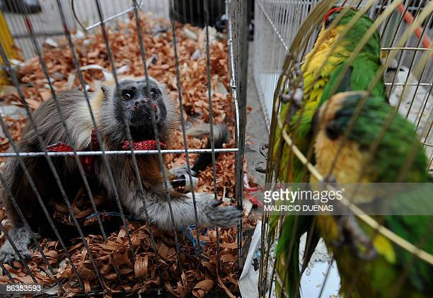 Picture of a gray titi rescued by Colombian police during a search for wild animals in a popular market of Bogota taken on September 17 2008 Keeping...