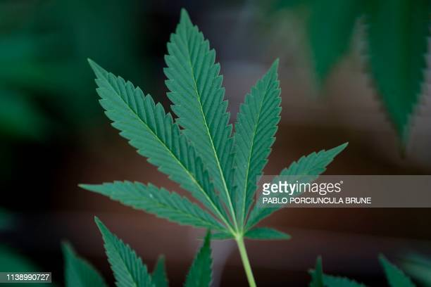 TOPSHOT Picture of a marijuana leaf taken in a greenhouse at the Fotmer Life Sciences company in Nueva Helvecia 120 Km west of Montevideo Uruguay on...