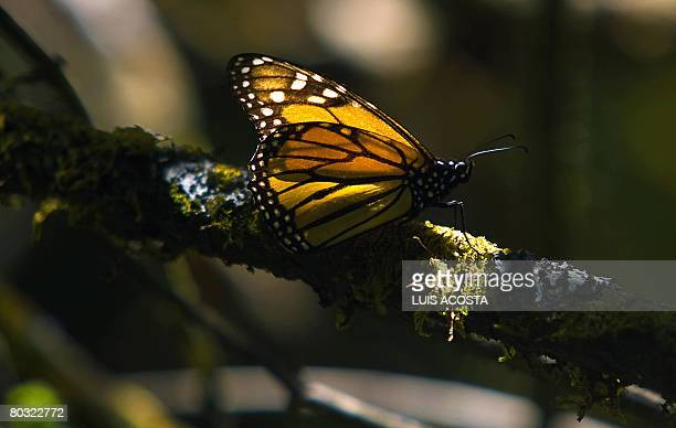 Picture of a monarch butterfly taken on March 18 2008 in the Oyamel forest at El Rosario sancturay in Angangueo state of Michoacan Mexico Millions of...