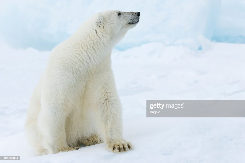 A picture of a polar bear sitting in snow : Stock Photo