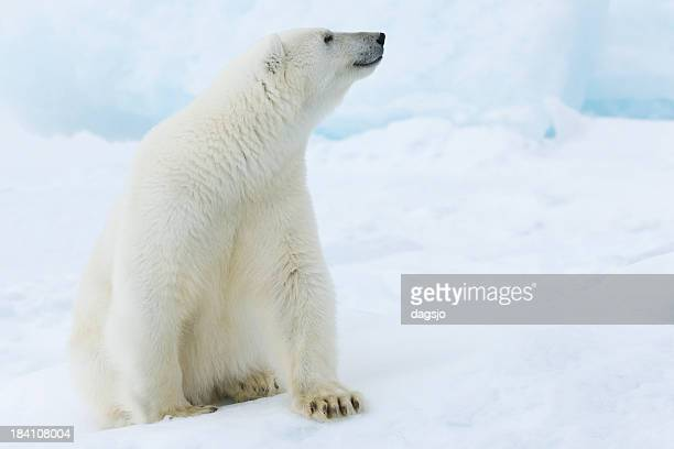 a picture of a polar bear sitting in snow - polar bear stock pictures, royalty-free photos & images