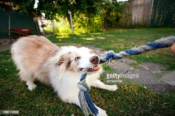 Picture of a puppy tugging on a rope