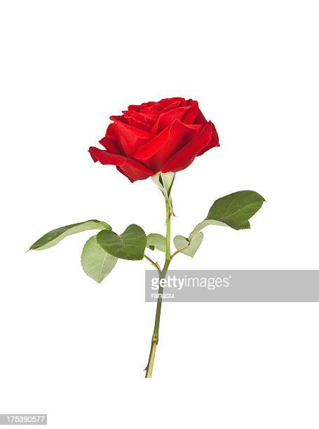 A picture of a red rose on a white background