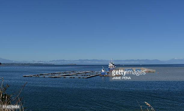 Picture of a salmon fish in Ilque Bay near Puerto Montt Chile taken on March 5 2016 The alarms went off again in the salmon industry in Chile one of...