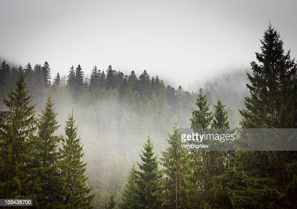 picture of a spruce forest on a cold foggy day - forest stock pictures, royalty-free photos & images