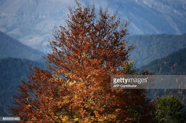 Picture of a tree taken on September 29 2017 in the French Alps above the southeastern town of SeyneLesAlpes shows the autumn light / AFP PHOTO /...