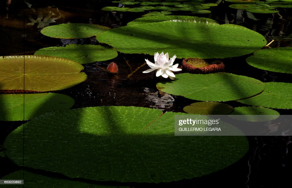 Picture of a 'Victoria Regia' taken at the Botanical Garden of Bogota, in the Colombian capital, on November 9, 2009