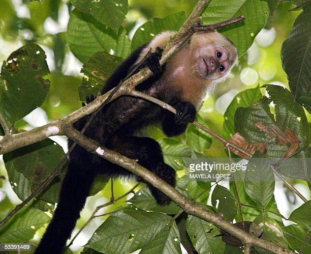 Picture of a whitefaced capuchin taken 06 January 2005 in the Corcovado National Park some 360 km south of the capital San Jose in the Costa Rican...