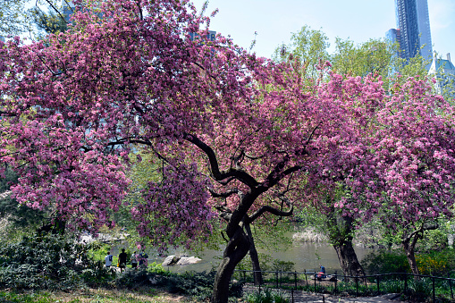 Picture Of A Woman Taken During A Cherry Blossom Photo Shoot In Central Park In New York City. Photo Taken Saturday April 21, 2018. - gettyimageskorea