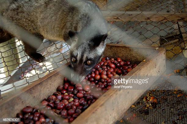 Picture of an Asian Palm Civet on a ranch at the Luwak Mas coffee factory in Pranggang Village. The production of Luwak Coffee or Civet Coffee has...