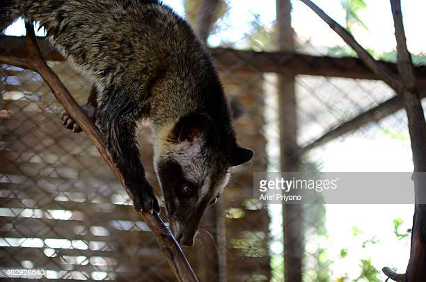 Picture of an Asian Palm Civet on a ranch at the Luwak Mas coffee factory in Pranggang Village The production of Luwak Coffee or Civet Coffee has...