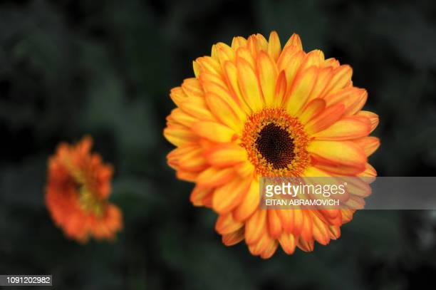 Picture of an astromelia flower taken at Flores de Funza farm in Funza Cundinamarca department Colombia on January 28 2010 Since late 2009 more than...