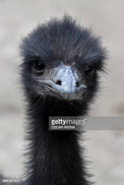 Picture of an emu at the National Zoo of El Salvador in San Salvador on June 12 2017 Four emus were born through artificial incubation in the zoo...