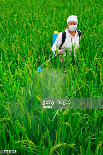 picture of asian farmer spraying pesticide in the rice field