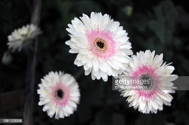 Picture of astromelia flowers taken at Flores de Funza farm in Funza Cundinamarca department Colombia on January 28 2010 Since late 2009 more than...