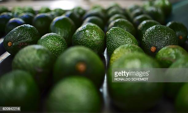 Picture of avocados taken at a packaging plant in the municipality of Uruapan Michoacan State Mexico on October 19 2016 With the United States buying...