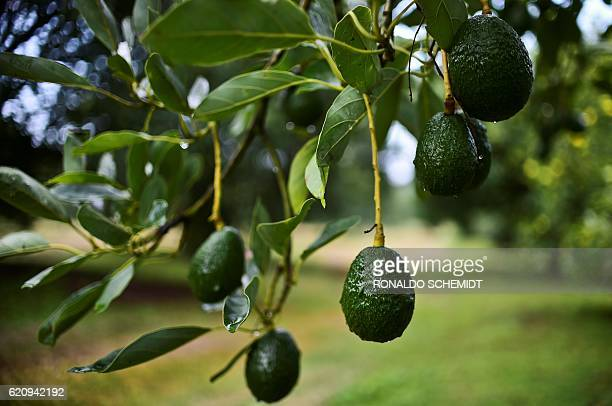 Picture of avocados taken at an orchard in the municipality of Uruapan Michoacan State Mexico on October 18 2016 With the United States buying most...