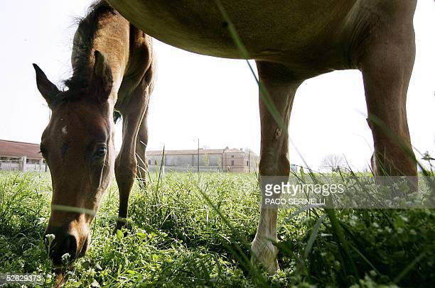 Picture of cloned horse named PierazCryozootechStallion and the castrated horse he was cloned from dated 14 April 2005 in the Italian Laboratory of...