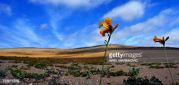 Picture of flowers on the side of a dusty road in the Atacama desert that leads to the San Jose mine where 33 miners are trapped deep below ground...