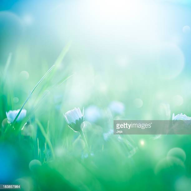 Picture of green field with white flowers and light