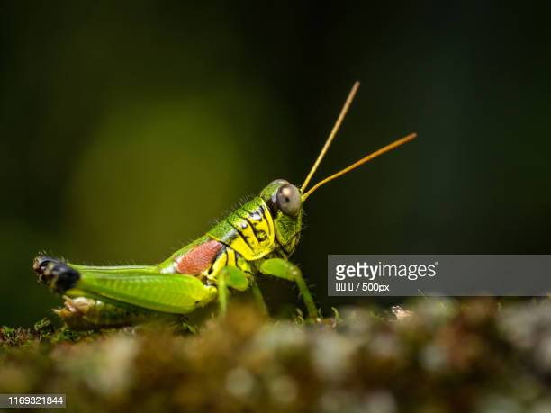 Picture of green locust standing on ground