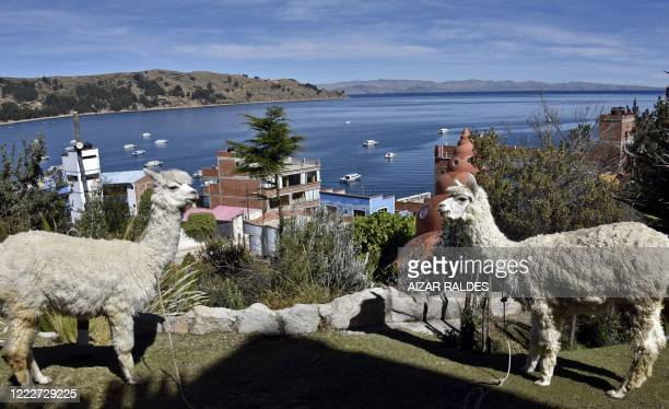 Picture of llamas taken in Copacabana, a Bolivian tourist town affected by the COVID-19 novel coronavirus pandemic, on Lake Titicaca near the border...