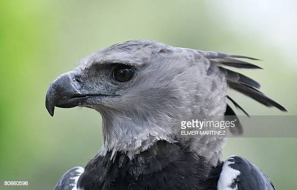 Picture of Luigi an adult male Harpy eagle born and raised in captivity taken during a presentation at the National Association for the Conservation...