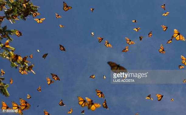 Picture of monarch butterflies taken on March 18 2008 in the Oyamel forest at El Rosario sanctuary in Angangueo state of Michoacan Mexico Unesco has...