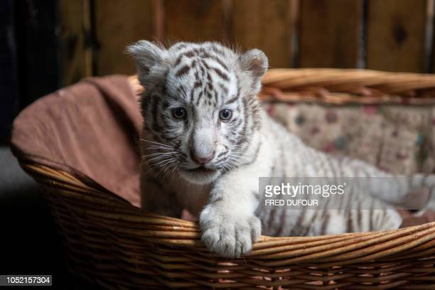 Picture of newborn white bengal tiger cub in Yunnan Wildlife Zoo in Kunming Southern China on October 12 2018 Three playful white Bengal tiger cubs...