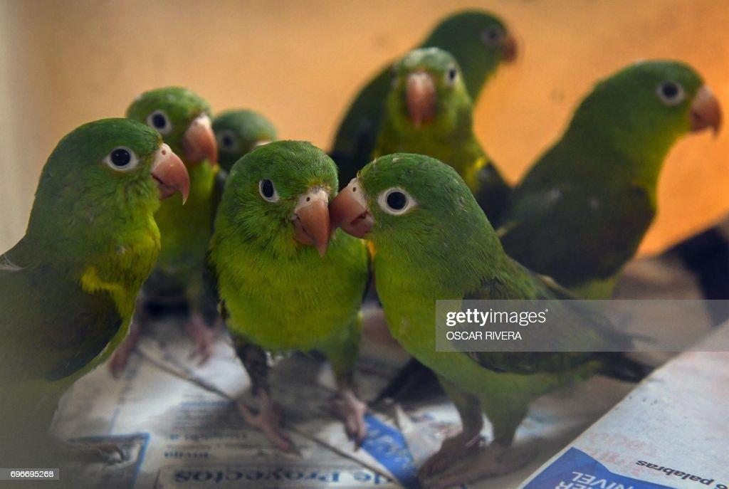 picture of orange chinned parakeets at the el salvador national zoo