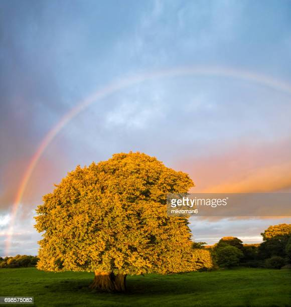 picture of rainbow and Single tree at sunrise time on foggy morning.