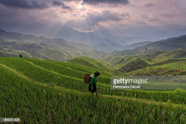 Picture of random lady walking in the field carry a basket in the morning at Longji rice terrace Longsheng