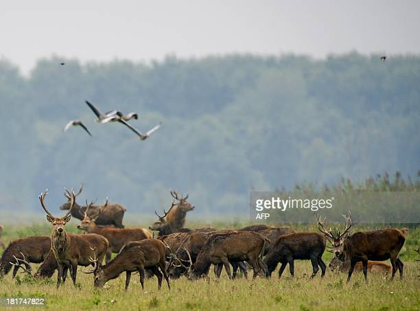 Picture of red deers taken on September 24, 2013 at the Oostvaardersplassen nature resere near Lelystad. The auctor intellectualis of the 56 square...