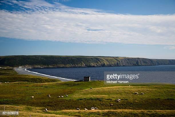picture of sheep grazing, st. john's, newfoundland and labrador, canada - paisajes de st johns fotografías e imágenes de stock