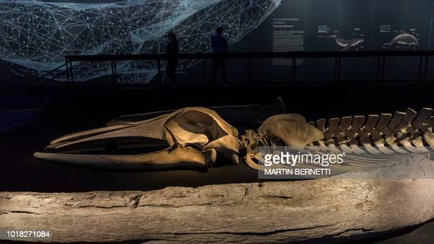 """Picture of the skeleton of a Sei whale taken on August 14, 2018 during the """"Whales, voices of the sea of Chile"""" exhibition at the La Moneda Cultural..."""