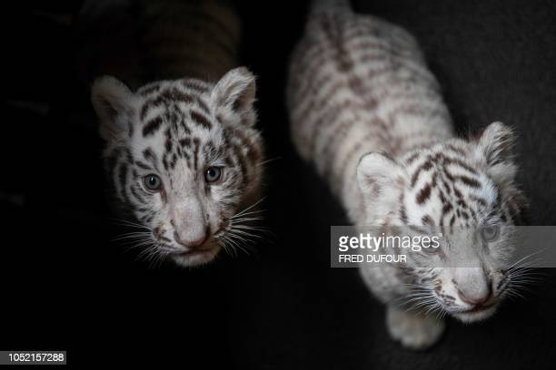 TOPSHOT Picture of two newborn white bengal tiger cubs in Yunnan Wildlife Zoo in Kunming Southern China on October 12 2018 Three playful white Bengal...