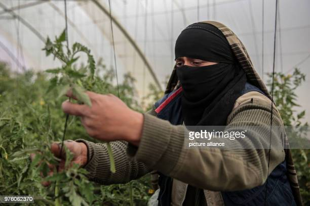 A picture provided on 30 May 2018 shows Yemeni farmer Ahlam AlAlaya checking for insects on organic tomato plant leaves in her greenhouse during an...